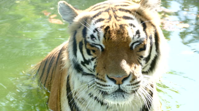 stockvideo's en b-roll-footage met wilde tijger in de rivier - dierentuin