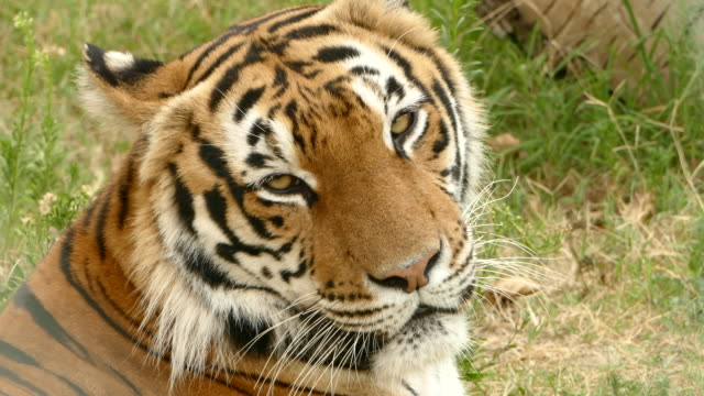 4k wild tiger lying down and resting - feline stock videos & royalty-free footage