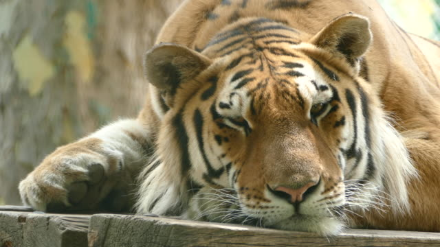 4K Wild tiger lying down and resting
