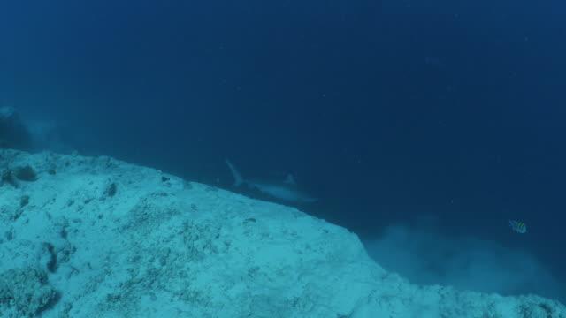 stockvideo's en b-roll-footage met wild tiger shark cruisen op onderzeese cliff in malediven - rondrijden
