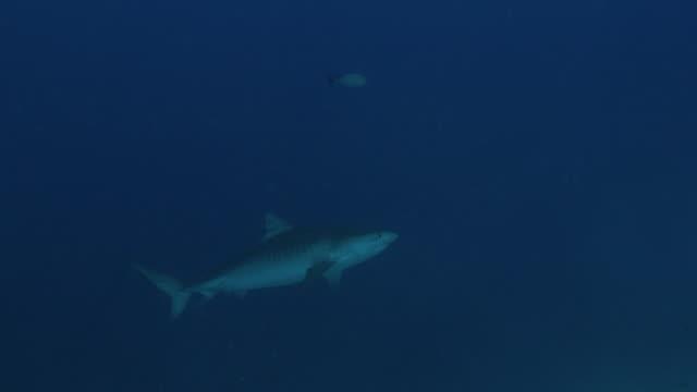 vídeos de stock, filmes e b-roll de o tubarão selvagem do tigre que cruza no penhasco do subsea em maldives - passear sem destino