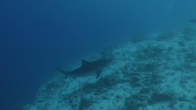 vídeos y material grabado en eventos de stock de tiburón tigre salvaje navegando submarino en maldivas - pasear en coche sin destino