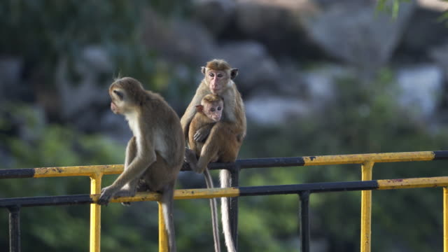 wild toque macaques from sri lanka - zoo stock videos & royalty-free footage