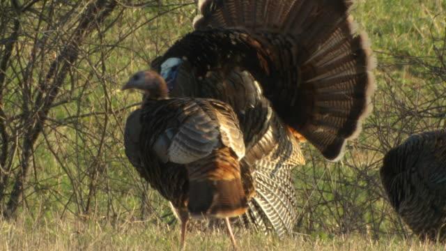 CU PAN Wild turkey displaying wings / Madoc, Ontaria, Canada