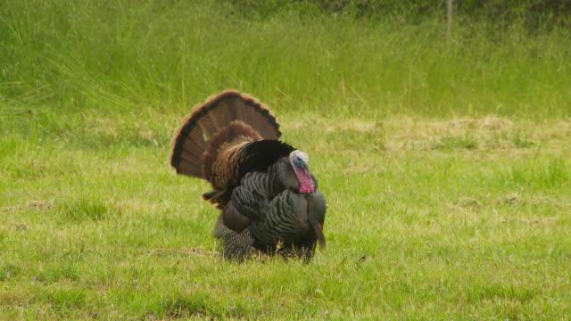 Wild turkey in meadow