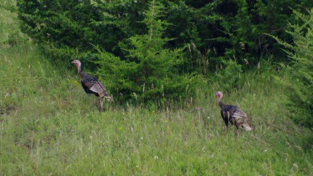 Wild turkey stroll through field