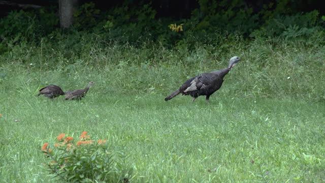MS PAN Wild turkey with older chicks / Tweed, Ontario, Canada