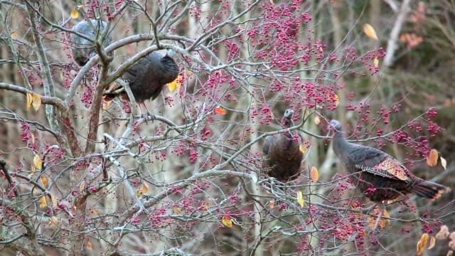 MS Wild turkeys eating crab apples in fall / Tweed, Ontario, Canada