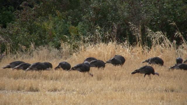 wild turkeys feeding in a grain field