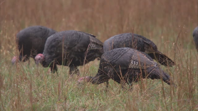 stockvideo's en b-roll-footage met wild turkeys forage in a grassy meadow. - foerageren