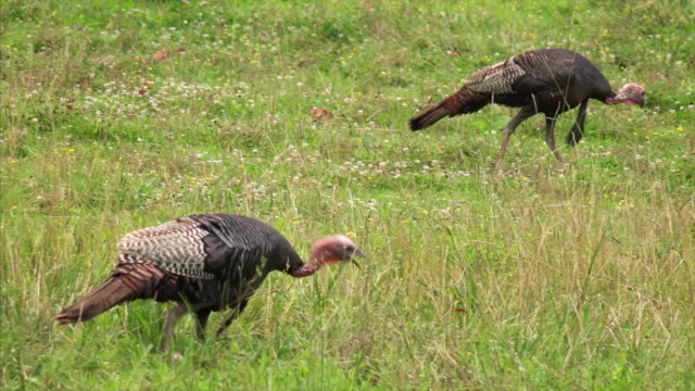 Wild turkeys in field at the Great Smoky Mountains National Park in Tennessee