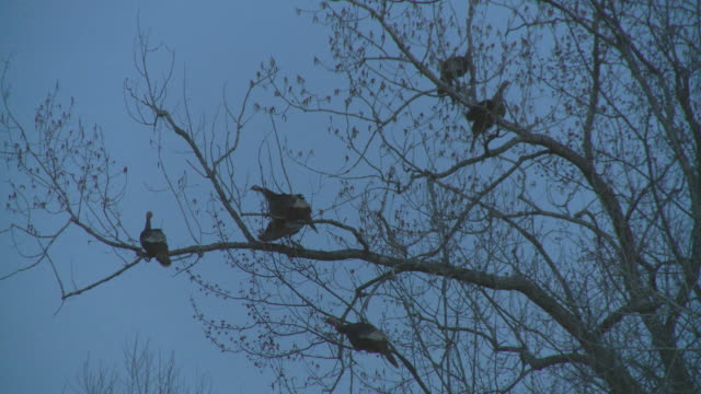 MS Wild turkeys roosting together on branch after sunset / Madoc, Ontaria, Canada