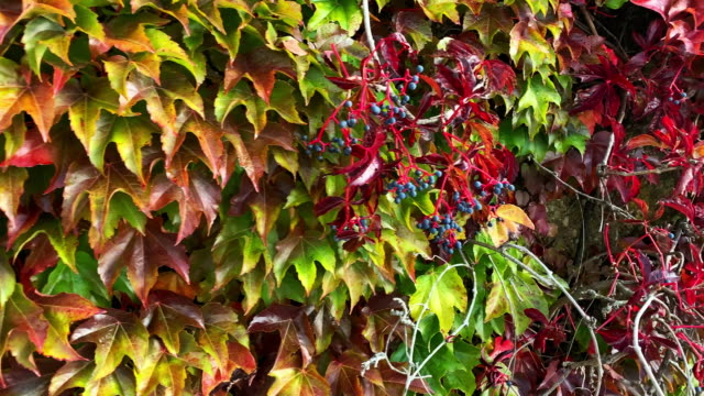 wild vine in autumn - creeper stock videos and b-roll footage