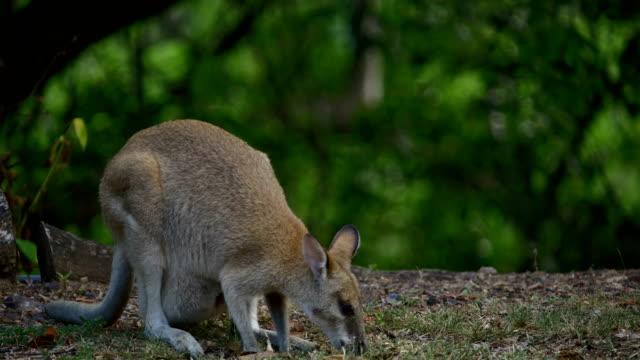 vídeos y material grabado en eventos de stock de wallaby salvaje - bush land
