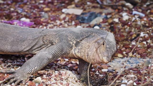 wildwasser monitor eidechse reptil zischen defensive tierverhalten - animal behaviour stock-videos und b-roll-filmmaterial