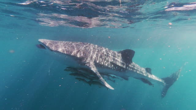 wild whale shark (rhincodon typus) endangered species swimming in the sea eating plankton - remora fish stock videos & royalty-free footage