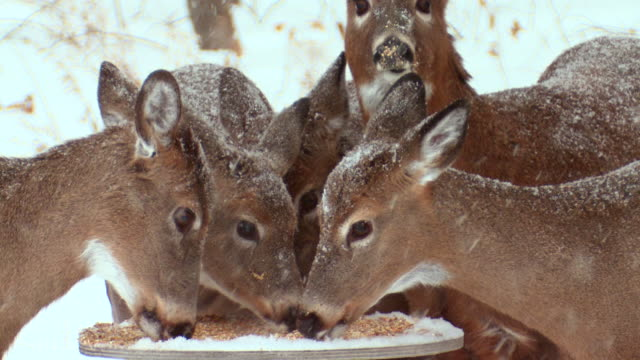 MS TD Wild white tailed deers eating corn at feeder during winter / Madoc, Ontario, Canada
