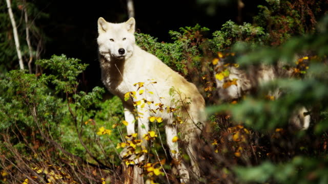 wild white wolf scavenging food on national reserve - ökotourismus stock-videos und b-roll-filmmaterial