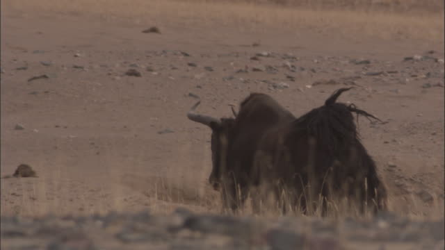 wild yak ascends sand bank, qinghai province, china - yak stock videos & royalty-free footage