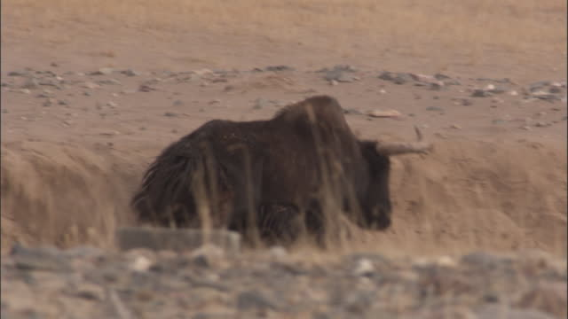 wild yak descends sand bank and dust bathes, qinghai province, china - yak stock videos & royalty-free footage