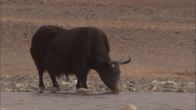 Wild yak drinks from river, Qinghai Province, China