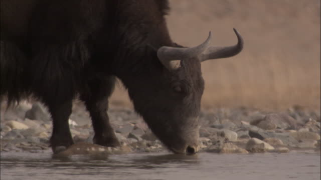 wild yak drinks from river, qinghai province, china - yak stock videos & royalty-free footage