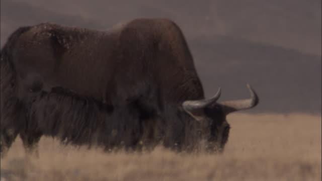 wild yak grazes on arid plateau, qinghai province, china - yak stock videos & royalty-free footage
