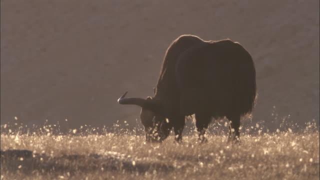 wild yak grazes on plateau, qinghai province, china - yak stock videos & royalty-free footage