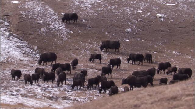 wild yak herd grazes on snowy plateau, qinghai province, china - yak stock videos & royalty-free footage