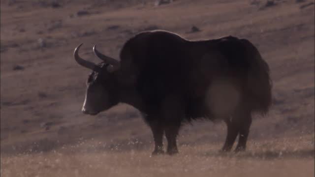 wild yak looks around on arid plateau, qinghai province, china - yak stock videos & royalty-free footage