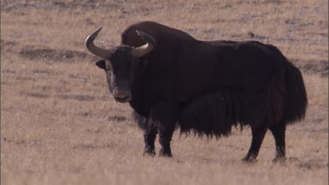 wild yak looks around on plateau, qinghai province, china - yak stock videos & royalty-free footage