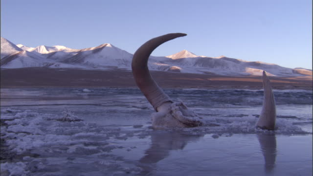 wild yak skull at edge of frozen river, qinghai province, china - skull stock videos and b-roll footage