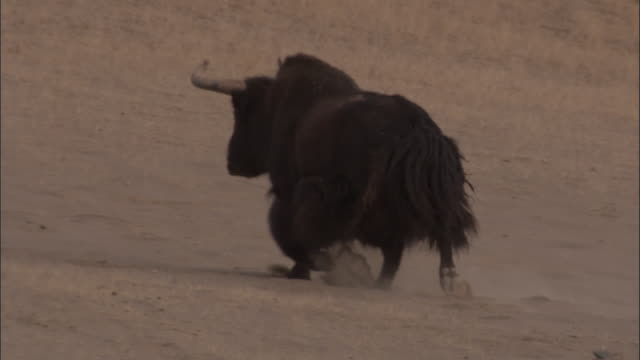 wild yak trots over sandy ground, qinghai province, china - yak stock videos & royalty-free footage