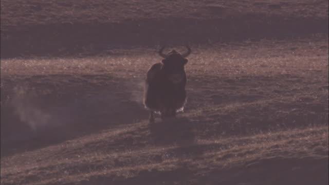 wild yak walks on plateau, qinghai province, china - yak stock videos & royalty-free footage
