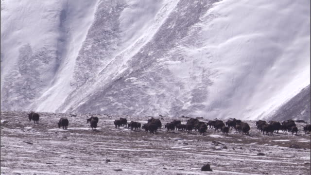 wild yak walks on snowy plateau, qinghai province, china - yak stock videos & royalty-free footage