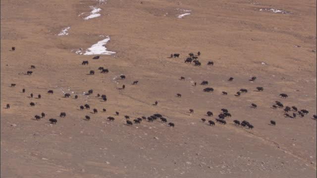 wild yaks graze on arid plateau, qinghai province, china - yak stock videos & royalty-free footage