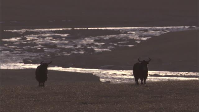 wild yaks walk away on plateau, qinghai province, china - yak stock videos & royalty-free footage