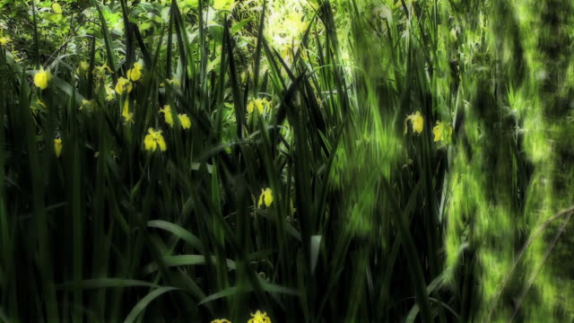 wild yellow irises bask. - digital enhancement stock videos & royalty-free footage