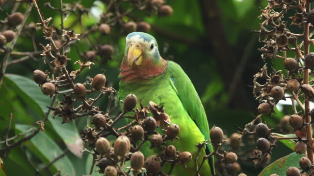 a wild yellow-billed parrot (amazona collaria) jamaica - jamaica stock videos & royalty-free footage