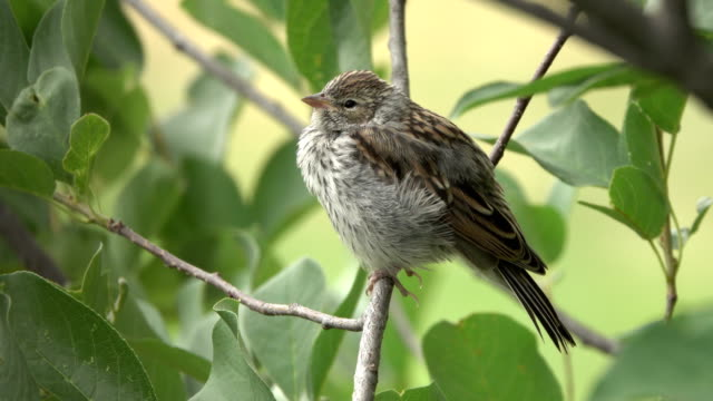 wild young baby chipping sparrow chirps in chokecherry bush littleton colorado - sparrow stock videos & royalty-free footage