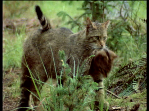 Wildcat and kitten in woodland, Scotland