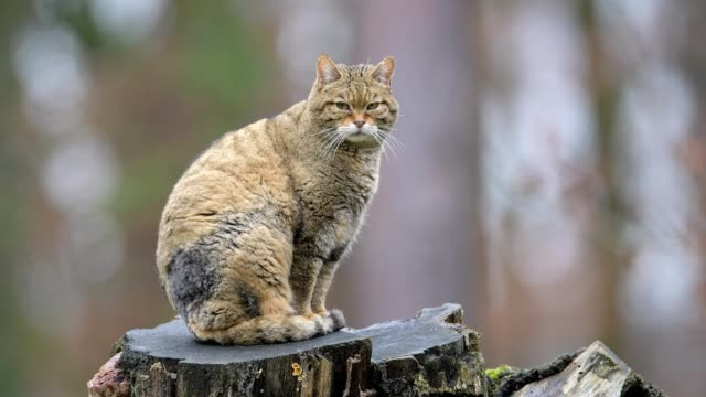 wildcat, felis silvestris, germany, europe - 30 seconds or greater stock videos & royalty-free footage