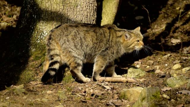 vidéos et rushes de wildcat, felis silvestris - lynx