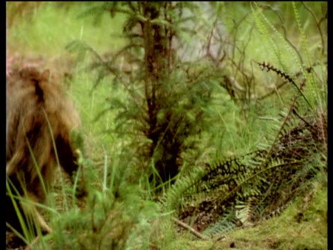 wildcat walks through bracken, scotland - bracken stock videos and b-roll footage