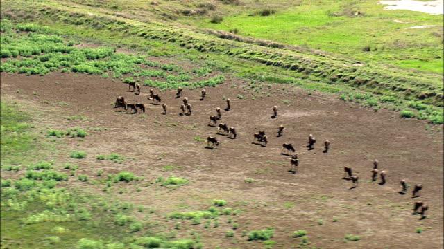 vídeos de stock e filmes b-roll de wildebeest - aerial view - orange free state,  south africa - manada