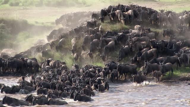 Wildebeest and zebra crossing the Mara River, Kenya