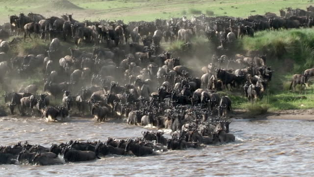 wildebeest and zebra crossing the mara river, kenya - wildebeest stock videos & royalty-free footage