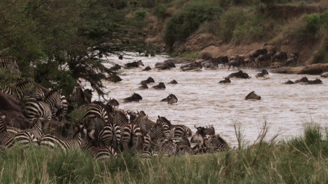 Wildebeest (Connochaetes taurinus) and zebra herd attempts river crossing, Kenya