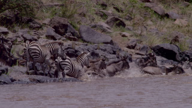 Wildebeest (Connochaetes taurinus) and zebra herd enters river crossing, Kenya