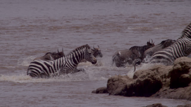 Wildebeest (Connochaetes taurinus) and zebra herd leaves river crossing, Kenya